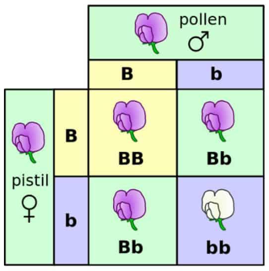 Tabel Percobaan Gregor Mendel
